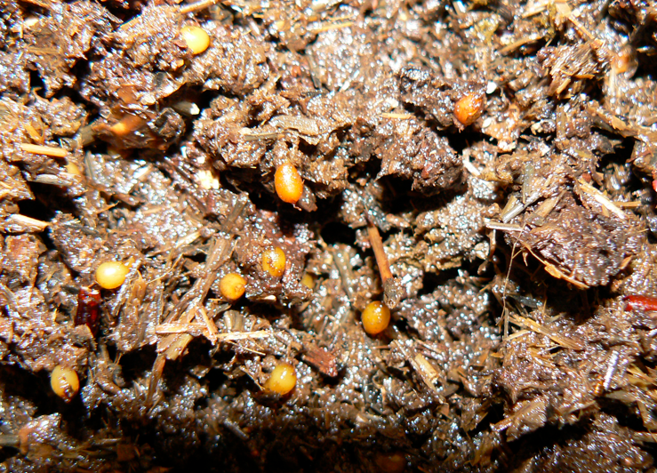Red Wiggler Eggs Texas Jumpers