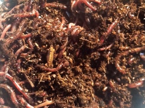 redwormsOCT