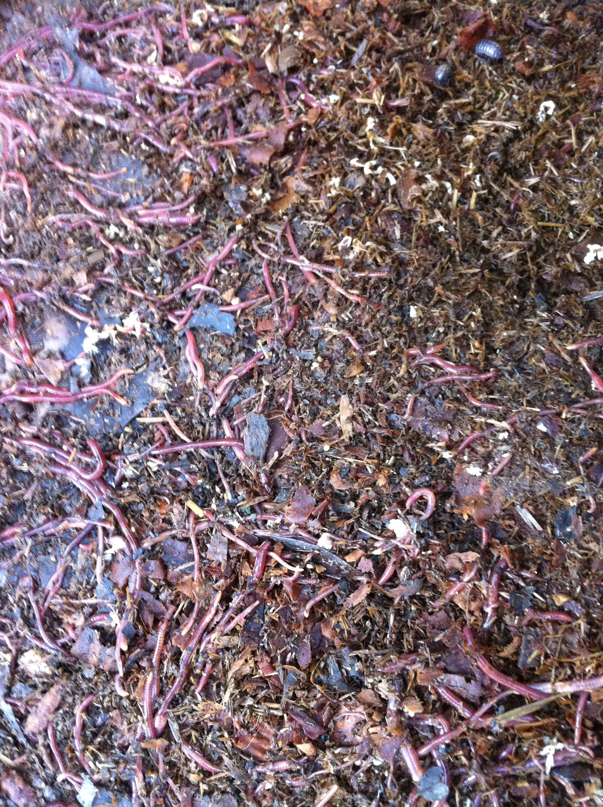 garden worms make your own worm bed organic fertilizer outdoor worm pit red wigglers red worm farming tips red worms for sale in houston